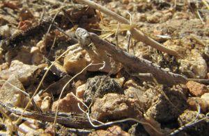 Praying Mantis in Frazier Park
