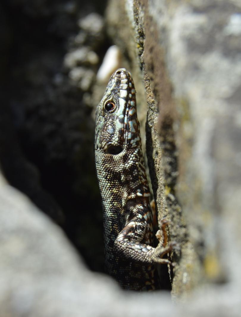 lizard051