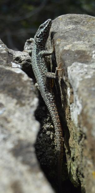 lizard06