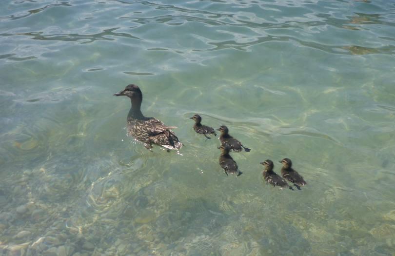 ducks01